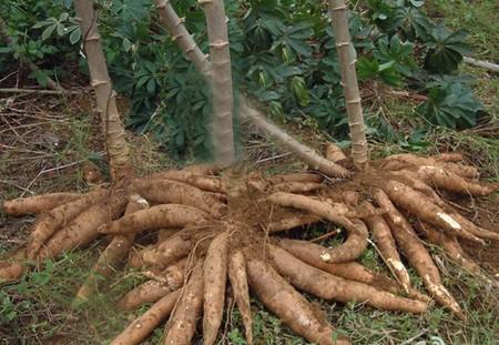 农业高产木薯园